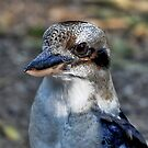 Kookaburra at Sherbrooke Forest by Tom Newman