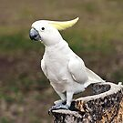 Hello Cocky - Cockatoo at Granite Gorge by Jenny Dean