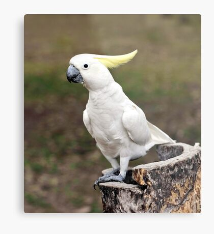 Hello Cocky - Cockatoo at Granite Gorge Metal Print