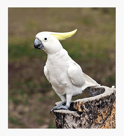 Hello Cocky - Cockatoo at Granite Gorge Photographic Print