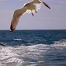 Seagull in flight by Diane Trummer Sullivan