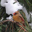 Female Cardinal  by maryevebramante