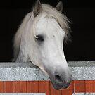 Cashelbay Prince by ConnemaraPony