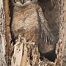 Baby Great Horned Owl by Gregory J Summers