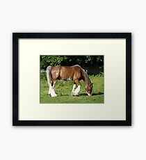 Clydesdale horse grazing on Aran Islands Framed Print