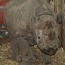 RHINO : Chester Zoo by AnnDixon