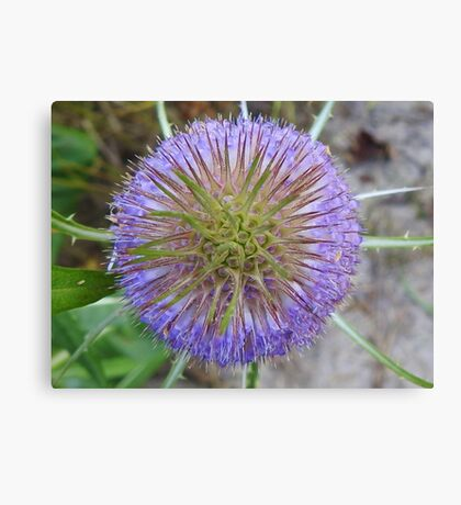 Blooming Teasel Canvas Print