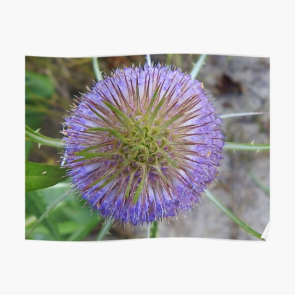 Blooming Teasel Poster