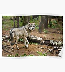 Timber Wolf - Ontario Canada Poster