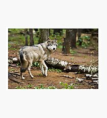 Timber Wolf - Ontario Canada Photographic Print