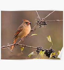 Female Northern Cardinal - Ontario Canada Poster