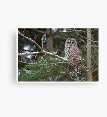 Barred Owl - Ontario Canada Canvas Print