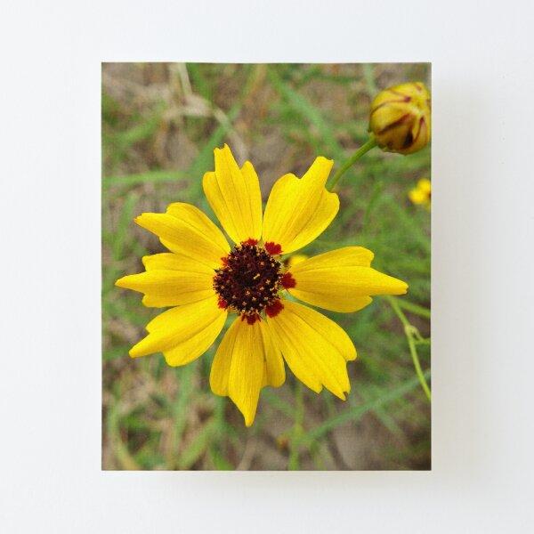 Plains Coreopsis Canvas Mounted Print