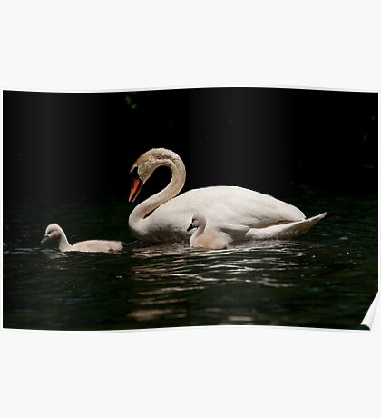 Mute Swan And Cygnet Poster