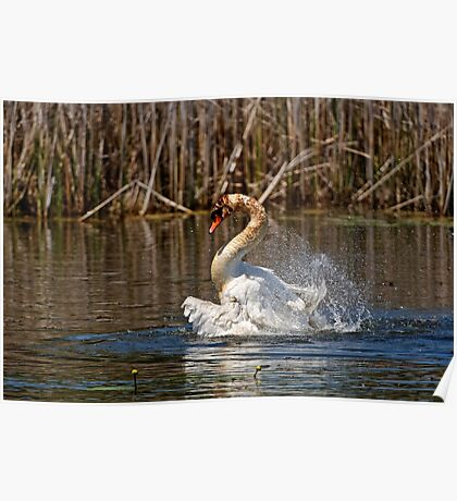 Mute Swan Taking A Bath Poster