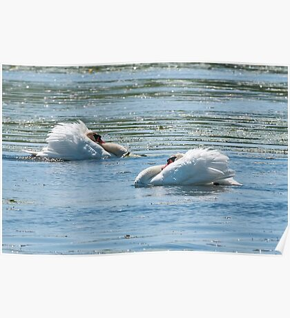 Mute Swans Displaying Poster