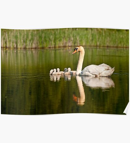 Mute Swan and Babies Poster