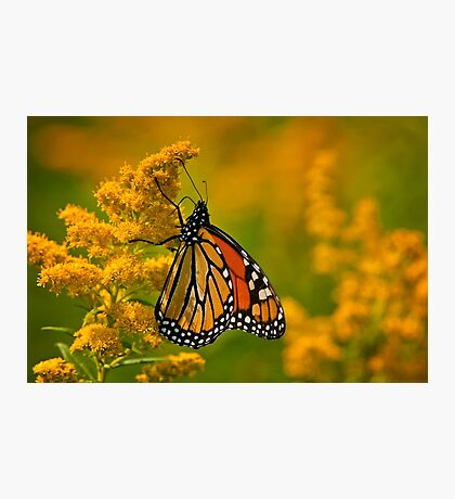 Monarch Butterfly - 23 Photographic Print
