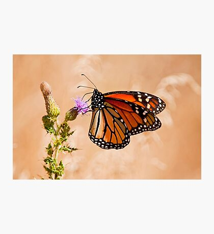 Monarch Butterfly - 29 Photographic Print