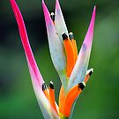 Heliconia Flower Costa Rica by Ken Scarboro