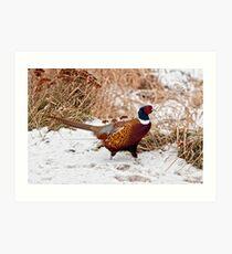 Ringed Neck Pheasant Art Print