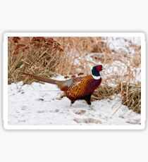 Ringed Neck Pheasant Sticker