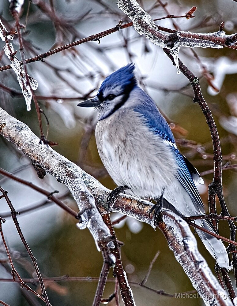 Blue Jay on Ice Covered Branch - Ottawa, Ontario by Michael Cummings