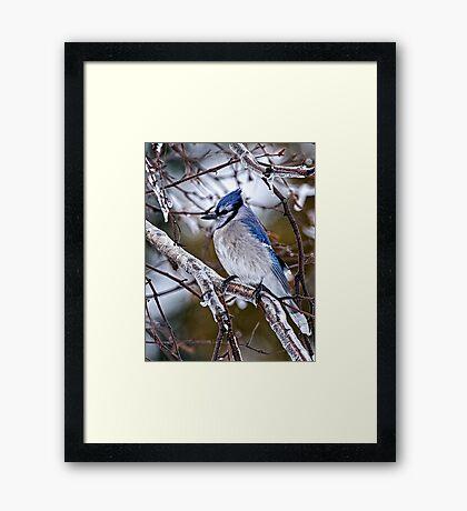 Blue Jay on Ice Covered Branch - Ottawa, Ontario Framed Print