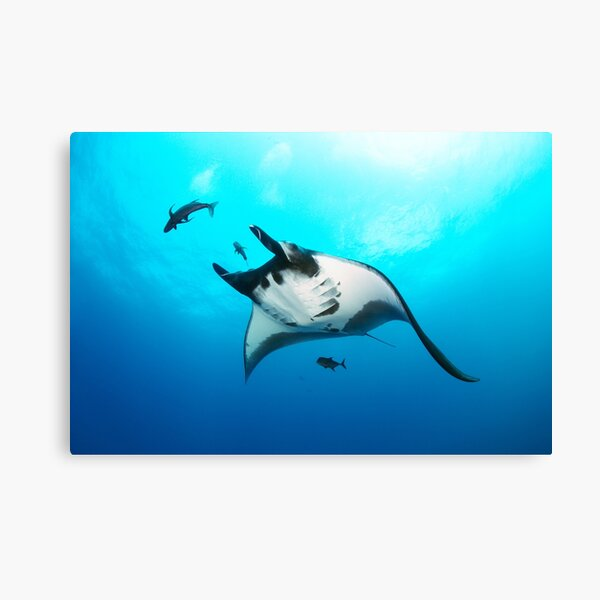 Giant manta ray in the blue Canvas Print