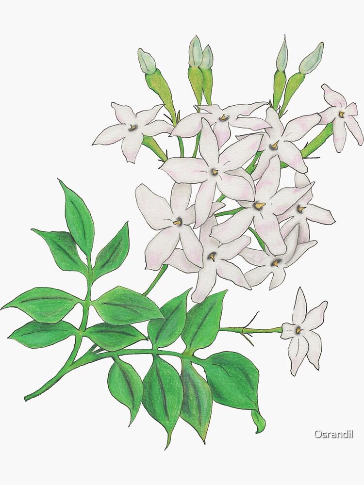 Jasmine (Jasminum officinale) by Osrandil