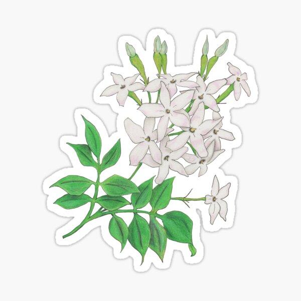 Jasmine (Jasminum officinale) Sticker