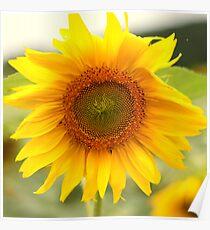 Sunflower - Road to Villigen Poster