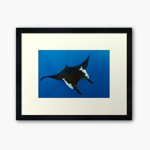 Giant manta ray in the blue Framed Art Print