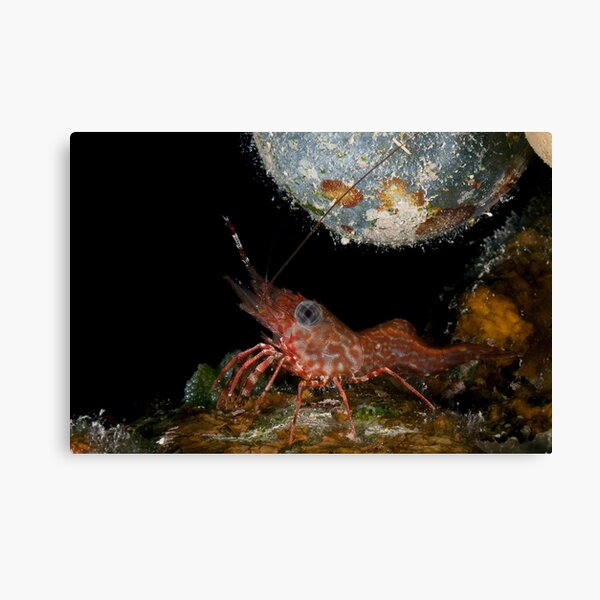 Tiny dancing shrimp in the rocks Canvas Print
