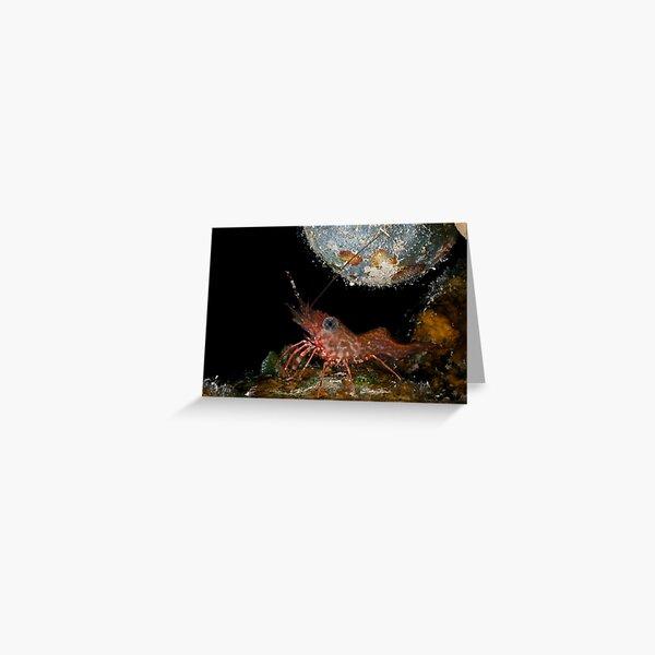 Tiny dancing shrimp in the rocks Greeting Card