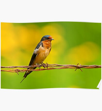 Barn Swallow On Barbwire Poster