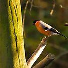 Bullfinch #2 by Phil-Edwards