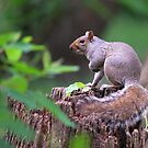Stillness on a Stump - Squirrel at Rest by Timothy Accardo
