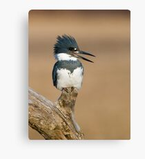 Perched Kingfisher - Stoney Creek Ontario, Canada Canvas Print