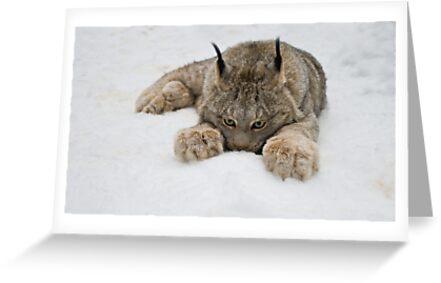 Lynx in Snow by Raymond J Barlow
