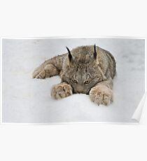 Lynx in Snow Poster
