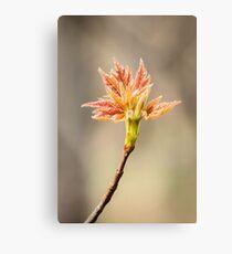 Budding Maple Leaf in Southwestern Michigan Canvas Print