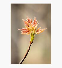 Budding Maple Leaf in Southwestern Michigan Photographic Print