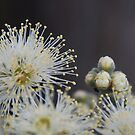 Turpentine Blossom, Springwood, Blue Mountains by Catherine Davis