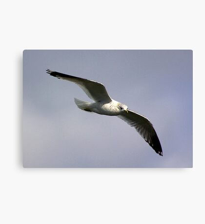 Common Gull Canvas Print