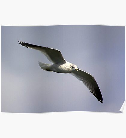 Common Gull Poster