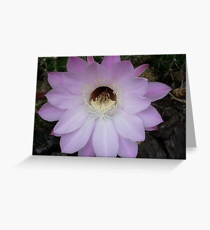 One night stand! (Echinopsis hybrid) Greeting Card