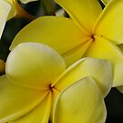 Plumaria In Full Bloom by Larry Costales