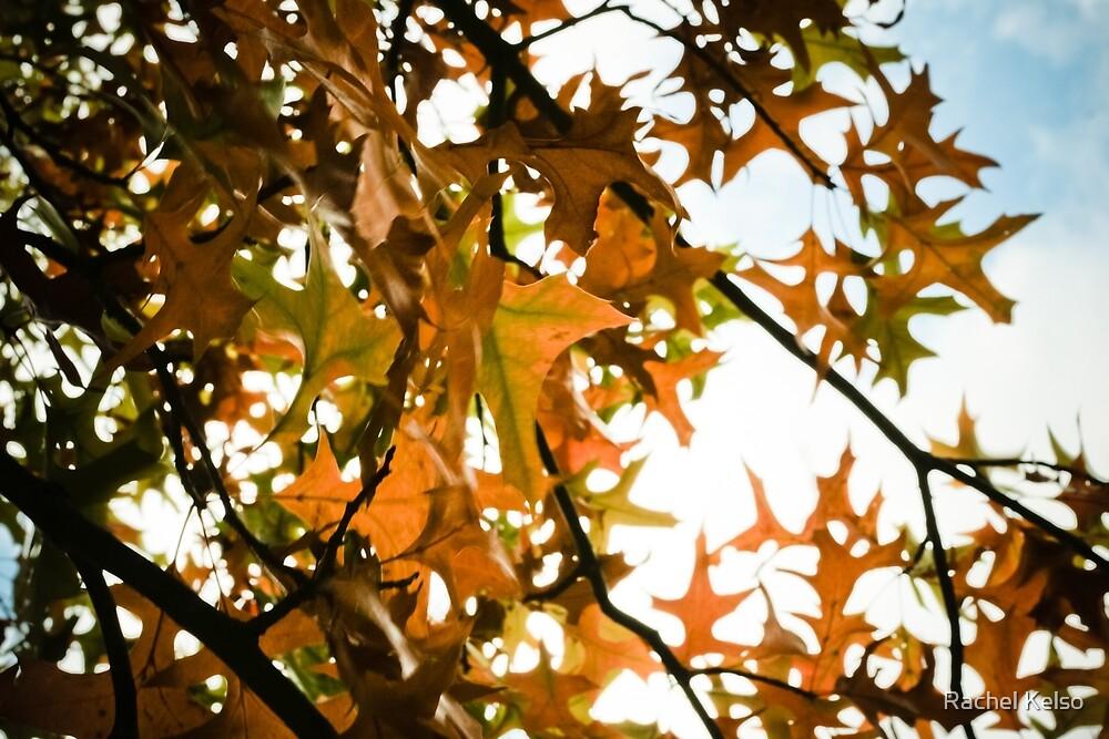 autumn leaves, backlit by Rachel Kelso