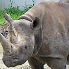 A Rhino by Monnie Ryan